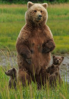 A Brown Bear Sow ~ With Her Three Cubs, Alaska, USA. (Photo By: © Art Wolfe.)