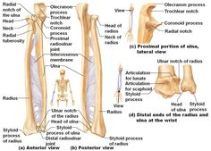 Anatomy Of Ulna Bone Kine 3027 Study Guide 14 Biltz) Instructor Biltz At Muscle Anatomy, Body Anatomy, Anatomy Study, Anatomy Reference, Hand Anatomy, Medical Facts, Medical Information, Human Skeleton Anatomy, Nursing