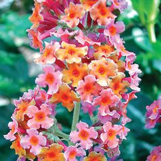 Rainbow Butterfly BushLight: Full sun to partial shade Height: 6-10' Deer Resistant Bloom Time: Midsummer to fall Size: Potted Zones: 5-9