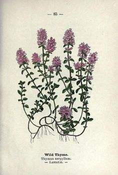 """Wild Thyme """"OBERON: I pray thee, give it me. I know a bank where the wild thyme blows,"""""""