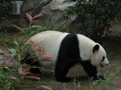 Panda at the San Diego zoo (we had to be very quiet for the panda).     Pandas are rare and cherished in China.