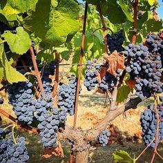 Saying good morning to these fresh pinot! #RODwine #rodwineco #winemaking #pinot