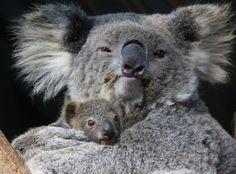 Le zoo de Taronga, situé à Sydney, en Australie, a célébré la semaine dernière la naissance du premier koala de la saison. La petite femelle est sortie de la poche de sa mère et a commencé à se nourrir d'eucalyptus. Il s'agit du troisième petit pour la mère Wanda qui est, d'après les soigneurs du parc, une mère attentive et patiente, qui ne se formalise jamais lorsque son petit gratte de ses griffes à l'intérieur de la poche.