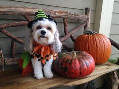 """Cavachon """"Holly"""" From Foxglove Farm Cavachon Puppies, Cavapoo, Puppy Training Tips, Cute Pictures, Dog Lovers, This Is Us, Pumpkin, Pets, Blog"""