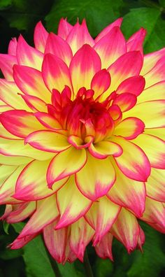 'Candle Lite' Dahlia Beautiful gorgeous pretty flowers
