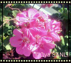 My geraniums #everydayisflower