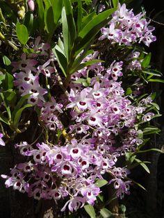 Orquídeas que eu cultivei no jardim da minha casa, na Serra da Mantiqueira, no sul de Minas Gerais!!! Adoro!!!