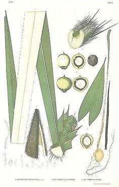 File:João Barbosa Rodrigues - A. Astrocaryum yauaperyense; B. Astrocaryum princeps var. sulphureum; C. Astrocaryum princeps var. flavum.jpg