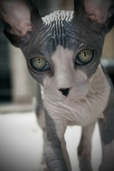 animal abuse. in germany, it's illegal to breed these cat breeds.