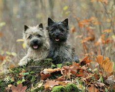 Cairn Terriers (Scotland)