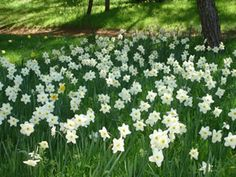 Daffodil Hill - Amador County. Open only for a few weeks in the Spring (March and April). Open seven days a week, free admission and parking.