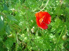 Poppy, a favourite spring flower