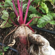Can't Beet homegrown! Harvested some Bull's Blood Beets!  #urbanfarming #urbanfarm #sustainability #sustainableliving  #realhensofoc #urbanhomestead #permaculture #organic #homegrown #urbangardenersrepublic #growsomethingreen #gardening #growyourownfood #urbangarden #organicgardening #urbangardening #orangecounty #losangeles #california Re-post by Hold With Hope