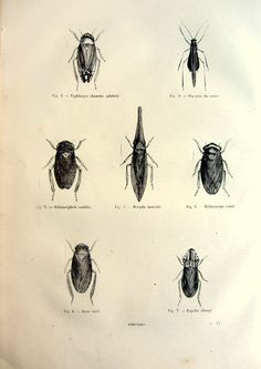 1860 antique Froghoppers print original  by LyraNebulaPrints, $24.99