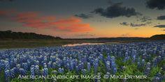 bluebonnets in texas - Google Search