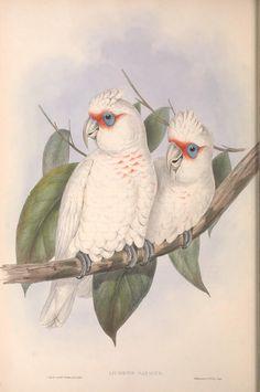 (1848) - The birds of Australia. - Biodiversity Heritage Library