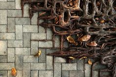 Chestnut tree roots taking over Hong Kong pavement.  Lovely texture. Photo by  Wei-Feng Xue