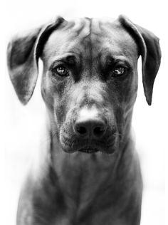 Portrait of a Rhodesian Ridgeback by Stephanie Reynders, via 500px