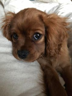 Cute Overload: Internet`s best cute dogs and cute cats are here. Aww pics and adorable animals. Super Cute Puppies, Cute Baby Dogs, Cute Little Puppies, Cute Dogs And Puppies, Doggies, Brown Puppies, Adorable Puppies, Pet Dogs, Pretty Animals