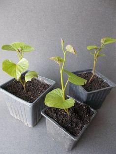Így lesz tele a kerted édesburgonyával, röhejesen olcsó megoldás Potted Plants, Animals And Pets, Health, Outdoor, Decor, Gardening, Potato, Pot Plants, Pets