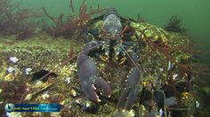 This European #lobster was minding his own business when Goofy Aqua Video spotted him in the #Grevelingen, the Netherlands. Have a look at more pictures from Europe's biggest salt water lake.