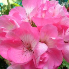 Geranio rosa mexicano !!!