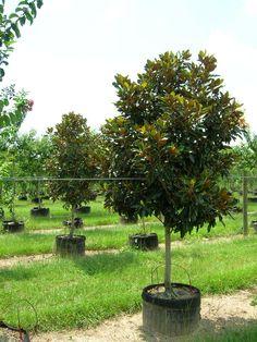 For our yard: Little Gem Magnolia