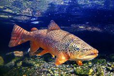#45 Brown Trout, Green River, Utah