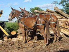 Team of Working Mule's