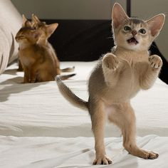 t.rex impression, ...other kitties want no part of this foolishness
