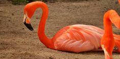 Солидный курортный комплекс на острове Нью-Провиденс (Багамы) «Baha Mar» ищет человека, на замещение вакансии «смотритель за фламинго».  http://islandlife.ru/news_island/291-rabota-na-bagamah-nuzhno-prismatrivat-za-flamingo.html