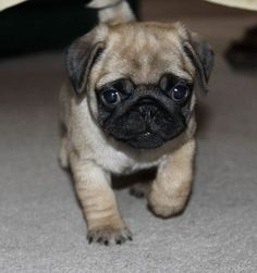 ^^Want to know more about pugs for sale. Click the link to learn more****** Viewing the website is worth your time. Cute Pug Puppies, Baby Puppies, Bulldog Puppies, Dogs And Puppies, Terrier Puppies, Doggies, Boston Terrier, The Pug, Pitbull Boxer