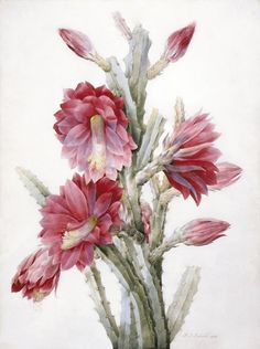 A Flowering Cactus: Heliocereus Speciosus by Pierre-Joseph Redouté