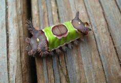 Acharia Stimulea 幼虫はサドルバックキャタピラーと呼ばれる
