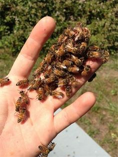 The friendly honey bee.  blisshoneybees.org