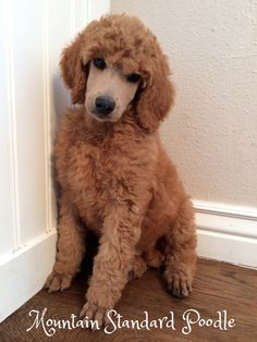 red standard poodle puppy for sale #standardpoodle Apricot Standard Poodle, Standard Poodles For Sale, Poodle Haircut, Poodle Hairstyles, Poodle Cuts, Red Poodles, Poodle Puppies For Sale, Black Puppy, Puppy Cut