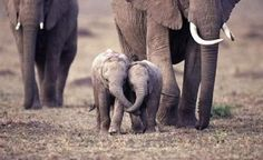 Baby Elephants -- I just had a heart attack from the cuteness!!! ^_^