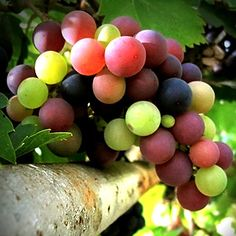 Grapes are such a refreshing fruit, and this picture makes you want to pluck one straight away. Yum