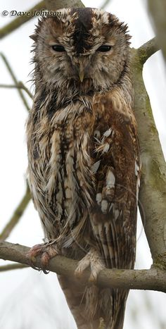 The Tawny Owl or Brown Owl (Strix aluco) is a stocky, medium-sized owl commonly found in woodlands across much of Eurasia. by bbooky Beautiful Owl, Animals Beautiful, Cute Animals, Owl Photos, Owl Pictures, Rapace Diurne, Strix Aluco, Nocturnal Birds, Tawny Owl