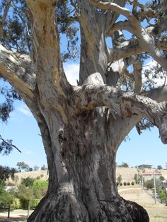 The Big Tree - Guildford, VIC (estimated age between 500 - 1,000 years old) - River Red Gum