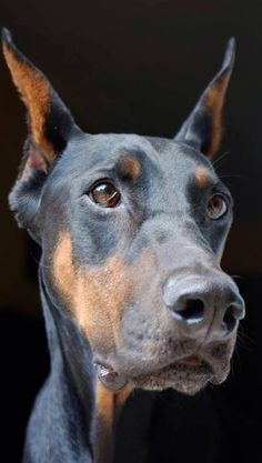 The Doberman Pinscher is among the most popular breed of dogs in the world. Known for its intelligence and loyalty, the Pinscher is both a police- favorite Big Dogs, I Love Dogs, Cute Dogs, Dogs And Puppies, Corgi Puppies, Doggies, Black Doberman, Doberman Love, Beautiful Dogs