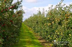 nice Apfelplantage Königreich Numero 6,  #Landleben