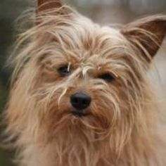 COSBY is an adoptable Yorkshire Terrier Yorkie Dog in Decatur, GA. Cosby is a sweet, young thang looking for a permanent home with a loving family. He is very playful and loves everyone he meets, huma...