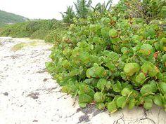 Uva do mar  É um arbusto de fácil cultivo que cresce em solos arenosos, não é exigente com a irrigação e suporta os ventos fortes e as altas temperaturas. Trata-se de uma planta que chega a atingir cerca de 9 metros de altura, tem folhas verdes e redondas que apresentam uma nervura principal de cor vermelha. Os seus frutos são comestíveis.