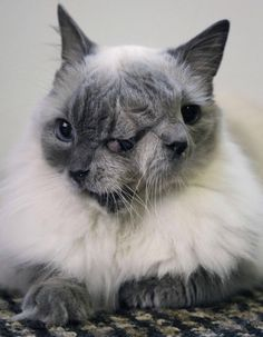 frank and louie the cat was born with two faces - Biggest Cat In The World Guinness 2012