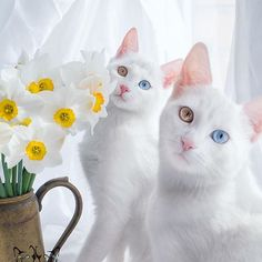 BEAUTY `s   #beautiful fluffy white cute kitty cats with different eyes colors