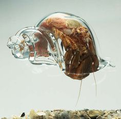 hermit crab in glass shell..that is really cool