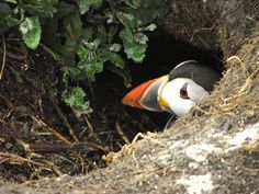 Puffin in nest burrow, Farne Islands (2) by MONKSY@CO.UK, via Flickr