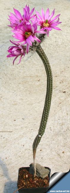 flowersgardenlove:  Echinocereus poselge Beautiful gorgeous pretty flowers