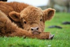 You wouldn't normally call a call warm and fuzzy, but Highland cattle are different. See adorable photos of a the Highland cattle calf! Cute Baby Cow, Baby Cows, Cute Cows, Cute Babies, Baby Elephants, Highland Calf, Scottish Highland Cow, Mini Highland Cow, Scottish Highlands